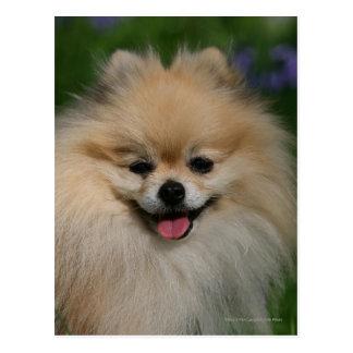 Sonrisa de Pomeranian Tarjeta Postal