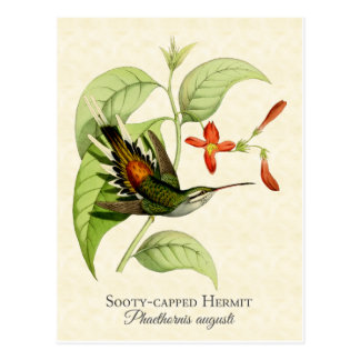 Sooty Capped Hermit Hummingbird Art Postcard