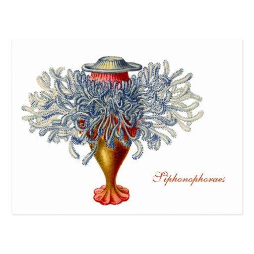 Sophonophorae Postcard