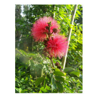 Soplo de polvo rosado postal