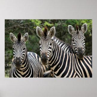 Soporte de la cebra de tres Burchell (Equus Póster