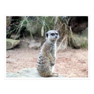 soporte del meerkat tarjetas postales