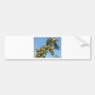 Sorbs in fruit tree . Tuscany, Italy Bumper Sticker