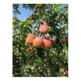 Sorbs in fruit tree . Tuscany, Italy Postcard