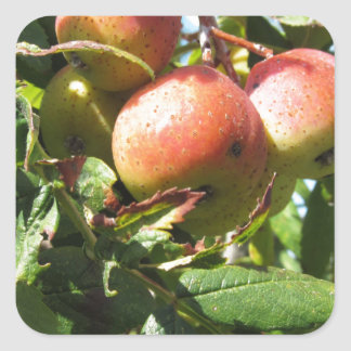 Sorbs in fruit tree . Tuscany, Italy Square Sticker