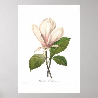 Soulangiana de la magnolia póster