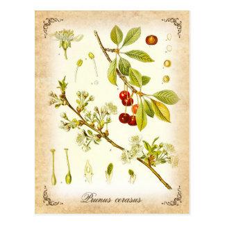Sour Cherry plant - vintage illustration Postcard