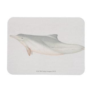 Sousa chinensis, delfín Indo-Pacífico del Humpback Imán De Vinilo