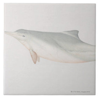 Sousa chinensis, Indo-Pacific Humpback Dolphin, Large Square Tile
