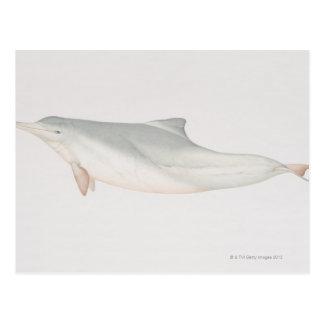 Sousa chinensis, Indo-Pacific Humpback Dolphin, Postcard