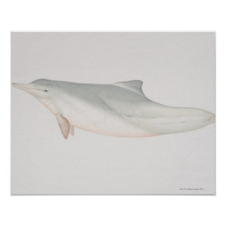 Sousa chinensis, Indo-Pacific Humpback Dolphin, Poster