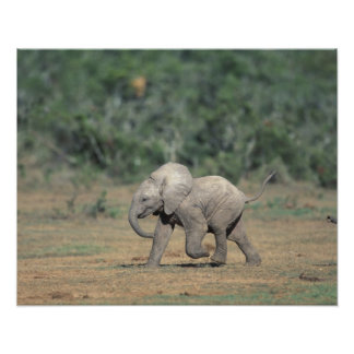 South Africa Addo Elephant Nat l Park Baby Poster