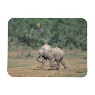 South Africa, Addo Elephant Nat'l Park. Baby Magnet
