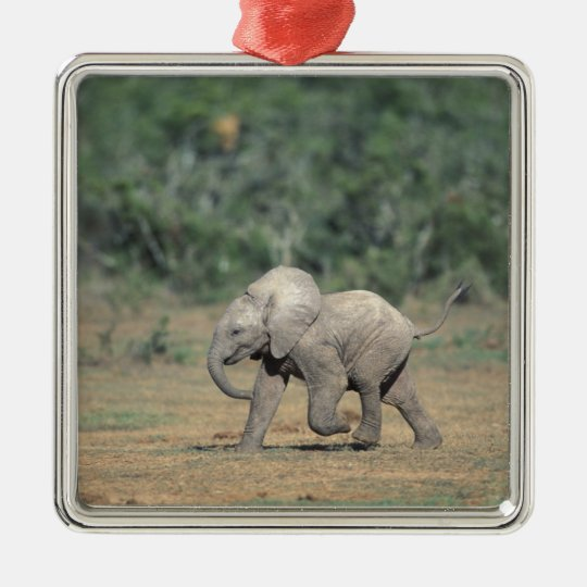 South Africa, Addo Elephant Nat'l Park. Baby Metal Ornament