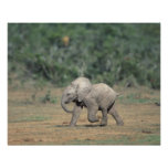 South Africa, Addo Elephant Nat'l Park. Baby Poster