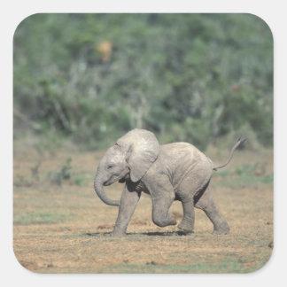 South Africa, Addo Elephant Nat'l Park. Baby Square Sticker