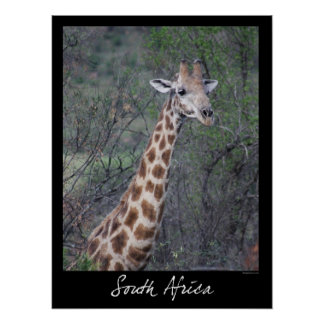 South Africa Giraffe Poster