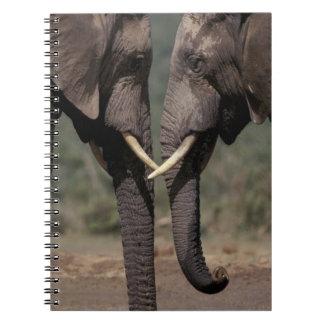 South Africa, Kalahari-Gemsbok NP, Gemsbok at Notebook