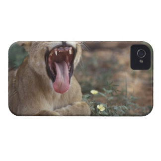 South Africa, Kgalagadi Transfrontier Park, Lion Case-Mate iPhone 4 Cases
