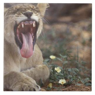 South Africa, Kgalagadi Transfrontier Park, Lion Ceramic Tile