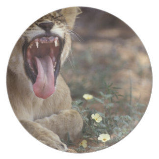 South Africa, Kgalagadi Transfrontier Park, Lion Dinner Plate