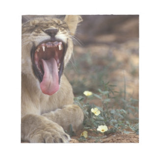 South Africa, Kgalagadi Transfrontier Park, Lion Note Pad