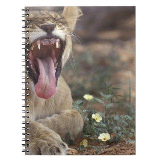 South Africa, Kgalagadi Transfrontier Park, Lion Notebook