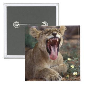 South Africa, Kgalagadi Transfrontier Park, Lion Pinback Button