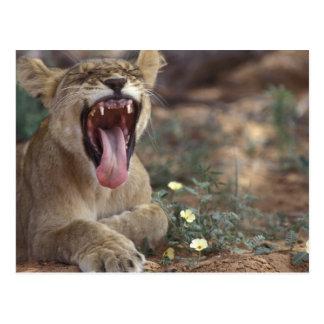 South Africa, Kgalagadi Transfrontier Park, Lion Postcard