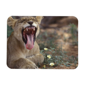 South Africa, Kgalagadi Transfrontier Park, Lion Rectangular Photo Magnet