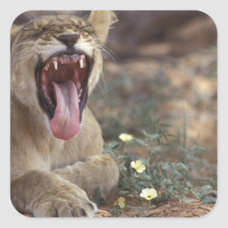 South Africa, Kgalagadi Transfrontier Park, Lion Square Sticker