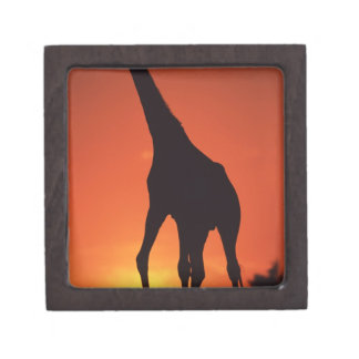 South Africa, Kruger NP.  Giraffe (Giraffa Gift Box