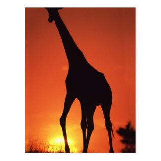 South Africa, Kruger NP.  Giraffe (Giraffa Postcards