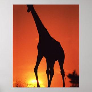 South Africa, Kruger NP.  Giraffe (Giraffa Poster