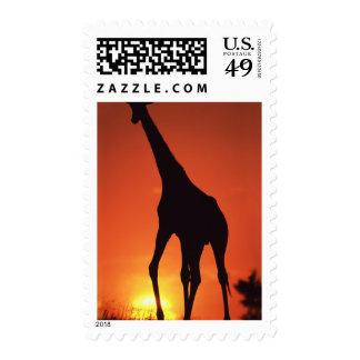 South Africa, Kruger NP.  Giraffe (Giraffa Stamp
