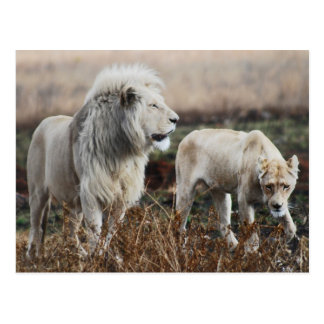 South Africa Lion as king Postcard