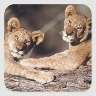 South Africa, lion cubs Square Sticker