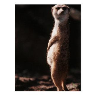 South Africa, Meerkat looking away Postcard