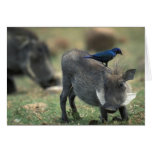 South Africa, Pilanesburg GR, Warthog Greeting Card