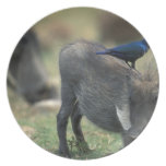 South Africa, Pilanesburg GR, Warthog Plate
