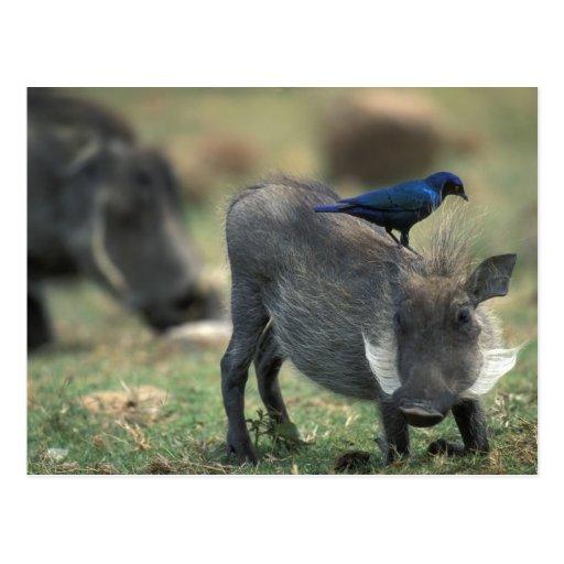 South Africa, Pilanesburg GR, Warthog Postcard