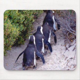 South Africa, Simons Town. Follow the leader. Mouse Pad