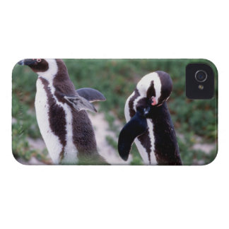 South Africa, Simons Town. Grooming Jackass iPhone 4 Cover