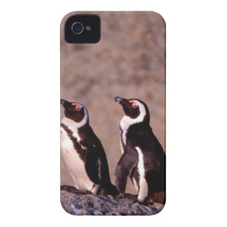 South Africa, Simons Town. Jackass Penguins 2 iPhone 4 Cover