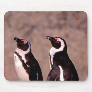 South Africa, Simons Town. Jackass Penguins 2 Mouse Pad