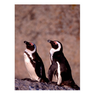 South Africa, Simons Town. Jackass Penguins 2 Postcard