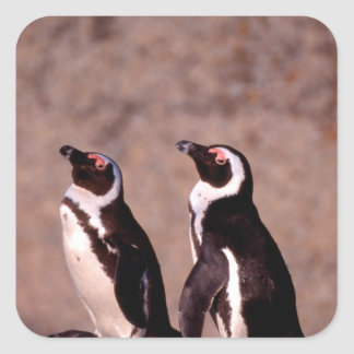 South Africa, Simons Town. Jackass Penguins 2 Square Sticker