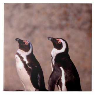 South Africa, Simons Town. Jackass Penguins 2 Tile