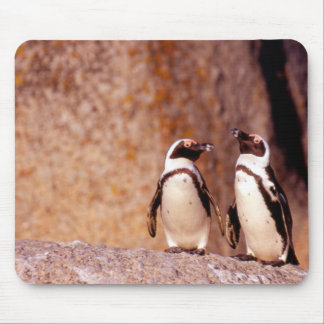 South Africa, Simons Town. Jackass Penguins 3 Mouse Pad