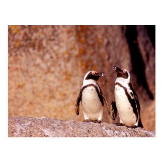 South Africa, Simons Town. Jackass Penguins 3 Postcard
